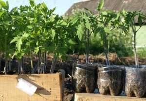 какие удобрения для рассады томатов и перца