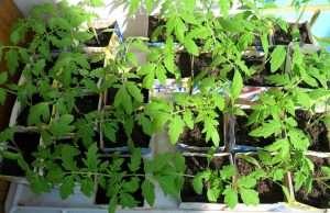 новый способ выращивания рассады томатов