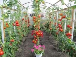 выращивание рассады томатов в теплице