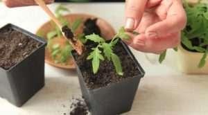 как ухаживать за рассадой томатов