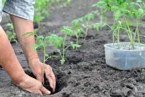 как часто поливать рассаду томатов