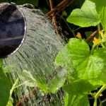 Правильный и своевременный полив рассады огурцов