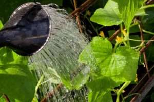 полив рассады огурцов