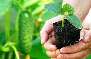 как выращивать рассаду огурцов в домашних условиях