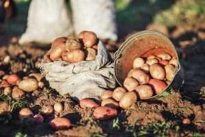 Повышение урожая картофеля