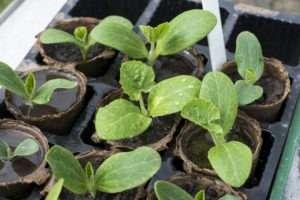 как посадить кабачки на рассаду правильно