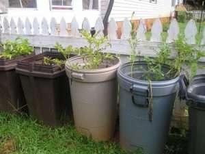 Как вырастить картофель в домашних условиях