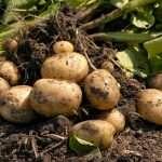 Картофель в июле