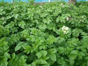 надо ли обрывать цветы у картофеля