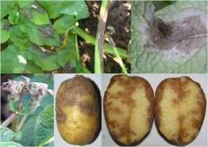 лечение болезней картофеля