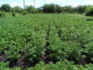 Период созревания картофеля