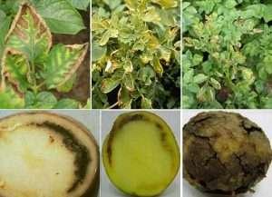 Почему желтеют листья у картофеля