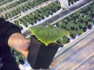 сохнут листья у рассады кабачков