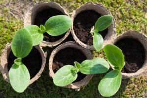 чем подкормить рассаду кабачков