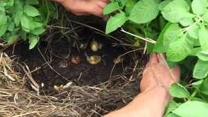Выращивание картофеля под сеном