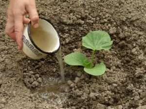 полив рассады кабачков