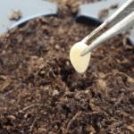 Когда сажать семена огурцов на рассаду?
