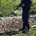 Предварительная обработка картофеля от колорадского жука перед посадкой