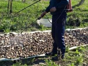 Обработка картофеля от колорадского жука перед посадкой