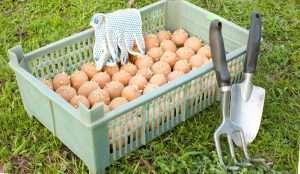 Чем обработать картофель перед посадкой