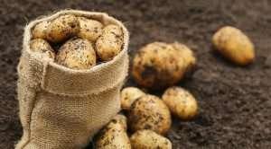 как вырастить хороший урожай картофеля