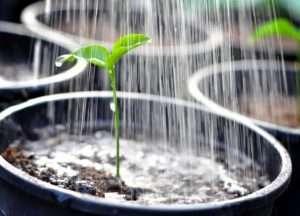 как часто поливать рассаду перца