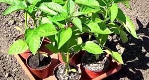 чем подкормить рассаду перца для роста