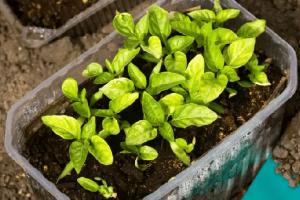 уход за рассадой перца в домашних условиях