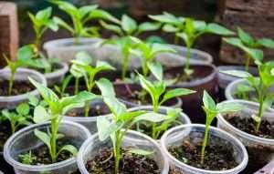 Подготовка семян перца к посеву на рассаду.