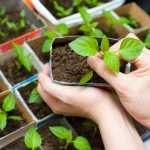 как правильно вырастить рассаду перца