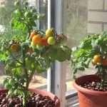 Выращивание помидор на подоконнике: способы, особенности, правила
